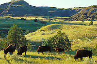 American Bison feeding.  Theodore Roosevelt National Park, North Dakota.  Summer.
