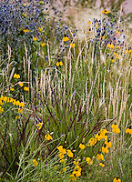 Colorado meadow garden with Western Wheat Grass (Agropyron or Pascopyrum smithii) , Switchgrass, Panicum '(Shenandoah'), Ratibida and Eryngium  design by Tom Peace (Woods)