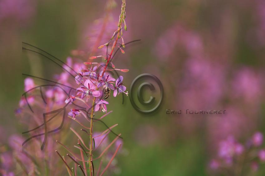 A bee foraging epilobium flowers.