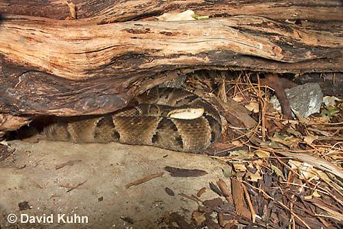 0427-1105  Brazilian Lancehead, Resting Under Log on Forest Floor, Bothrops moojeni  © David Kuhn/Dwight Kuhn Photography