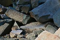 Pika (Ochotona princeps) in alpine rock pile.  Pacific Northwest.  Summer.