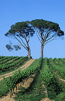 Europe/France/Aquitaine/33/Gironde/Quinsac: Le vignoble (AOC Premières côtes de Bordeaux)