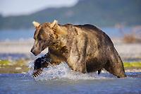 A hulking male kodiak grizzly bear (Ursus arctos middendorffi) named Pythagoreas hunts in a river at Kukak Bay