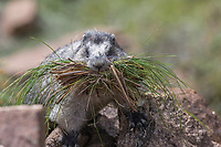 Hoary Marmot gathers grass for nest, Denali National Park, Alaska
