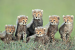 Pictured:  Six of the seven Cheetah cubs appear to pose for the picture.<br /> <br /> A family of newborn cheetah cubs crouch together and look innocently out at the world around them.  Cheetahs usually give birth to a litter of three to five cubs, and because the young are very vulnerable to predators, such as lions and leopards, many are killed before they reach adulthood.<br /> <br /> This family is made up of a mother, Siligi (meaning hope in Swahili) and her seven cubs, six of whose faces can be seen in the photo with the seventh lying just visible behind them.  Rangers have been protecting Siligi and her cubs since she gave birth in an area of deserted grassland called Kisincha, in the Masai Mara, Kenya.  SEE OUR COPY FOR DETAILS.<br /> <br /> Please byline: Antonio Liebana/Avalon/Solent News<br /> <br /> © Antonio Liebana/Avalon/Solent News & Photo Agency<br /> UK +44 (0) 2380 458800