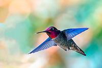 Ruby-throated Hummingbird is eastern North America's sole breeding hummingbird