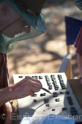 PhD student collecting and analyzing Carab beetles in Simpson Desert, Queensland