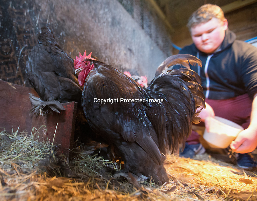 """25/03/16<br /> <br /> Zak Byra feeds the rare breed chickens.<br /> <br /> Full story here:  <br /> <br /> http://www.fstoppress.com/articles/happy-hens/<br /> .<br /> FARMER Roger Hosking doesn't believe there is such a thing as a bad egg, especially when he's talking about youngsters who have already made some bad choices in life.<br /> <br /> So it seems particularly fitting that this Easter, traditionally a time to celebrate new beginnings, he will spend time with disadvantaged kids, counting and grading more than 20,000 eggs each day as part of his unique """"farm school"""" philosophy.<br /> <br />  <br />  <br /> <br /> All Rights Reserved: F Stop Press Ltd. +44(0)1335 418365   www.fstoppress.com."""