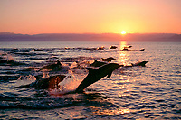 long-beaked common dolphin, Delphinus capensis, pod, lunging, jumping, at sunset, Gulf of California, or Sea of Cortez, Mexico, Pacific Ocean
