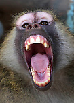 """A monkey is seen in a cage at a zoo in Rafah in the southern Gaza Strip, during the evacuation by members of the international animal welfare charity """"Four Paws"""" of animals from the Palestinian enclave to relocate to sanctuaries in Jordan, on April 7, 2019. Forty animals including five lions are to be rescued from squalid conditions in the Gaza Strip, an animal welfare group said. Photo by Ashraf Amra"""