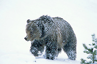 Grizzly Bear walking through early spring snowstorm.  Wyoming.  May.