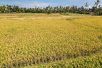 Bali, Indonesia.  Rice Paddy Ready for Harvesting.