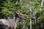 Moose on the side of  the Kancamagus Scenic Byway in the White Mountains, New Hampshire USA