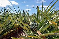 Unripe pineapple on a plantation, Ananas comosus, Hua Hin, Thailand, Asia
