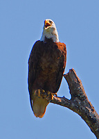 Adult bald eagle complaining as we were too close to the nest