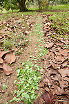 Leaf Cutter Ants, Atta, Hymenoptera formicidae, Panama, Central America, Gamboa Reserve, Parque Nacional Soberania, showing trail of ants carrying leafs through forest,
