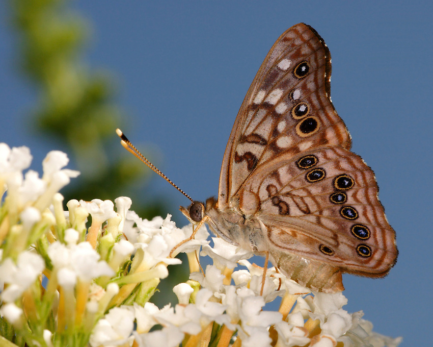 The Hackberry Emperor varies from a grayish to orange brown background color with darker tips and a variety of distinct white spots.