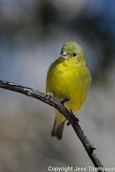 Goldfinch, Fort Davis State Park
