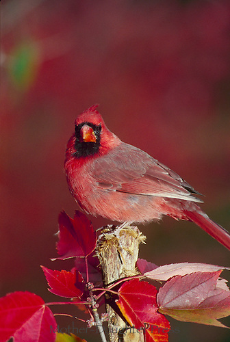 Northern Male Cardinal standing on broken tree surrounded by red maple leaves,
