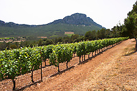 Domaine de l'Hortus. The Pic St Loup mountain top peak. Pic St Loup. Languedoc. Mourvedre vines facing south. France. Europe.