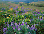 Columbia Hills State Park, WA<br /> Lupine and balsam root blooming on a hillside in the Columbia Hills above the Columbia River located in Klickitat County