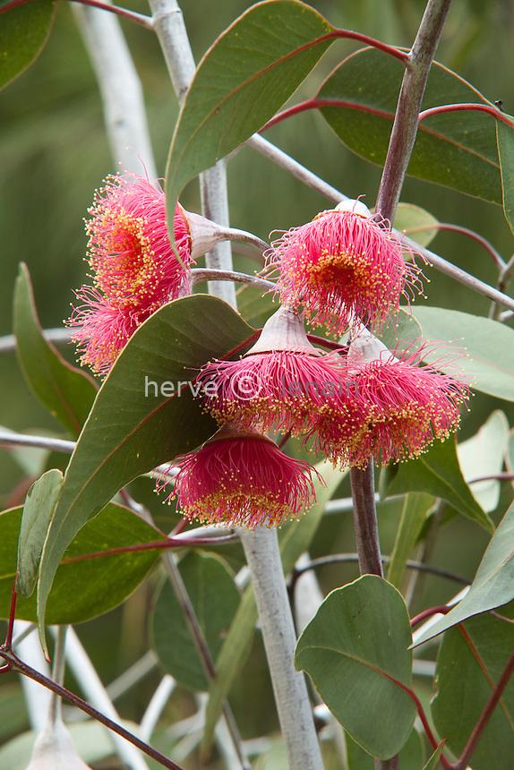 Domaine du Rayol en novembre : Eucalyptus caesia en fleurs // Eucalyptus caesia, commonly known as Caesia, Gungurru or Silver Princess