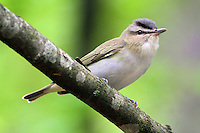 Red-eyed vireo. This bird thought for sure my wife's whistle was a vireo.