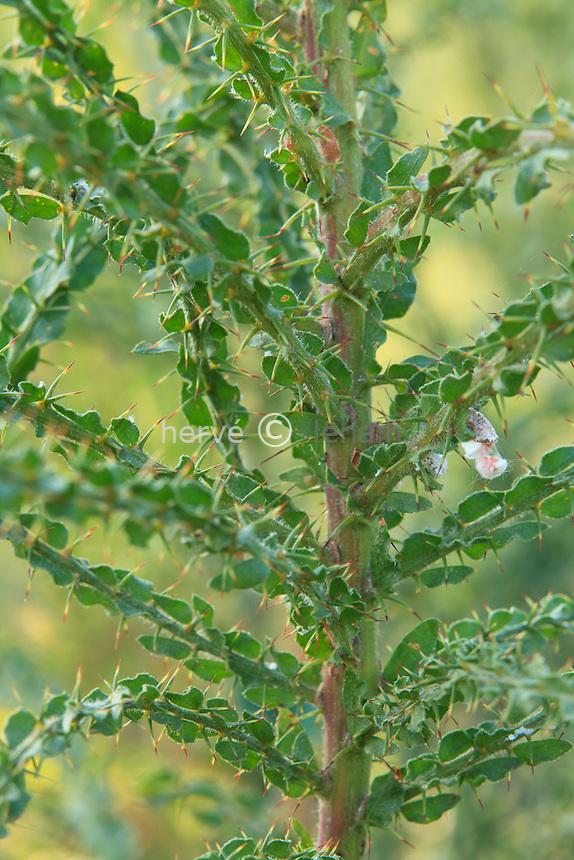 Acacia paradoxa = Acacia armata