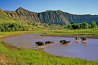 Ranchers herding cattle across Little Missouri River at Logging Camp Ranch, Little Missouri National Grassland, near Amidon, North Dakota, AGPix_0089 .