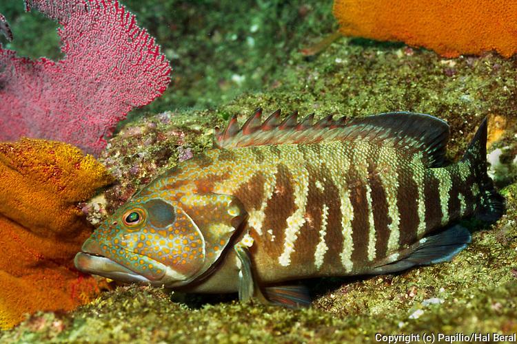 Panama Graysby.(Epinephelus panamensis).Gulf of California, Mexico