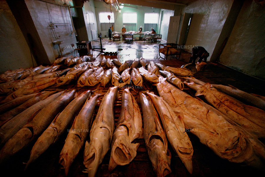 1997. On the Caspian seaside, belugas thaw in Atyrau fish factory, which was put into private hands after the fall of the Soviet bloc. Au bord de la mer Caspienne, des belugas dégèlent dans l'usine de traitement du poisson d'Atyrau, qui a été privatisée après l'effondrement du bloc soviétique.