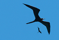 It is common to see large black birds flying high in the skies over Galápagos. These are frigatebirds. There are two species of figatebirds In the Galapagos: the great frigatebird and the magnificent frigatebird. Both species have extremely long slender wings allowing them soar of the waters of the archipelago and a bare-skinned red gular pouch, which in courting males becomes inflated to attract the attention of females.