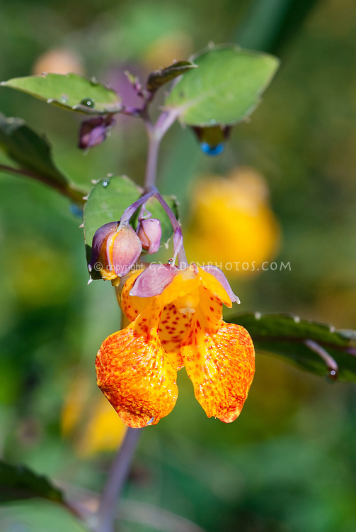 Impatiens capensis Orange Jewelweed Touch me nots macro of bloom and bud, native folk remedy medicinal plant to cure poison ivy and poison oak itch