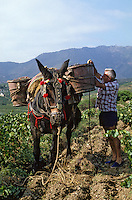 Europe/France/Languedoc-Roussillon/66/Pyrénées-Orientales/environs Banyuls-sur-Mer : vendanges traditionnelles avec mulet<br /> PHOTO D'ARCHIVES // ARCHIVAL IMAGES<br /> FRANCE 1990