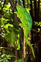 Parson's Chameleon {Calumma Parsonii} climbing branch. Tropical rainforest, Masoala Peninsula National Park, north east Madagascar.