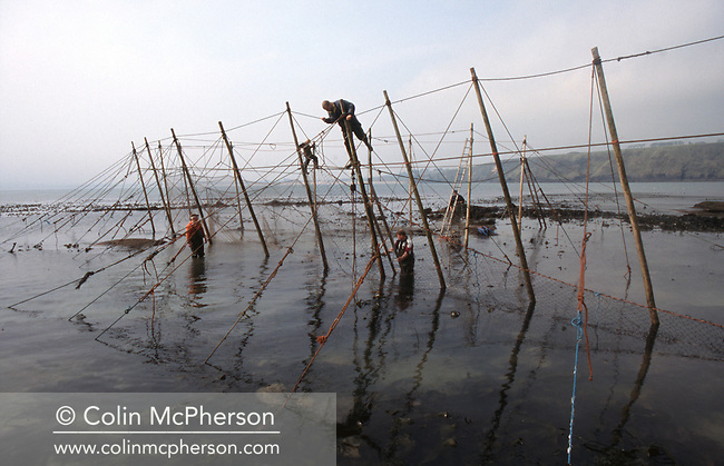 A team of salmon netters battle against the incoming tide as they secure poles with ropes on the foreshore during construction of the fly net on the rocks at Boddin, Angus. This type of net was discontinued in 2001. The once-thriving Scottish salmon netting industry fell into decline in the 1970s and 1980s when the numbers of fish caught reduced due to environmental and economic reasons. By 2007, only a handful of men still caught wild salmon and sea trout using traditional methods, mainly for export to the Continent.