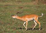 ..Impala in rut.