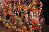 nd2. Pacific Seahorse (Hippocampus ingens). Galapagos Islands, Pacific Ocean..Photo Copyright © Brandon Cole. All rights reserved worldwide.  www.brandoncole.com..This photo is NOT free. It is NOT in the public domain. This photo is a Copyrighted Work, registered with the US Copyright Office. .Rights to reproduction of photograph granted only upon payment in full of agreed upon licensing fee. Any use of this photo prior to such payment is an infringement of copyright and punishable by fines up to  $150,000 USD...Brandon Cole.MARINE PHOTOGRAPHY.http://www.brandoncole.com.email: brandoncole@msn.com.4917 N. Boeing Rd..Spokane Valley, WA  99206  USA.tel: 509-535-3489