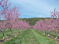 Young Peach trees in bloom, Conklin's Orchard, Rockland County, NY The Orchards of Concklin, Concklin's Orchard,