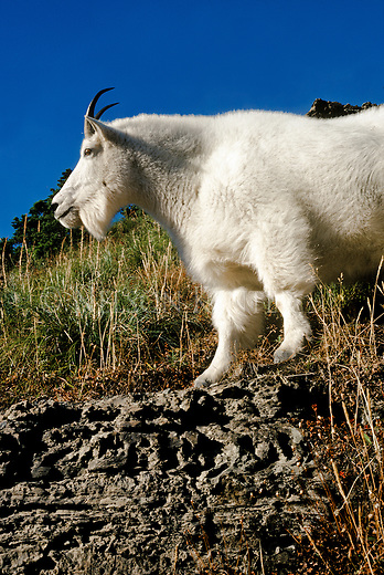 Mountain Goat in high country of  Glacier National Park in Montana
