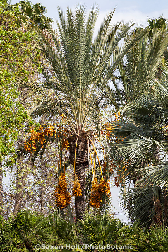 Phoenix dactylifera (Date Palm). in Southern California Style demonstration garden by Western Municipal Water District, Riverside California