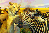 Friends?!, alion grabs a Zebra, photographed at a Taxidermy display at Cabella's, Kansas City, MO, August 2009, and manipulted in PhotoShop. (Photo by Brian Cleary/www.bcpix.com)