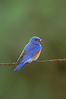 Western Bluebird with caterpillar, Washington