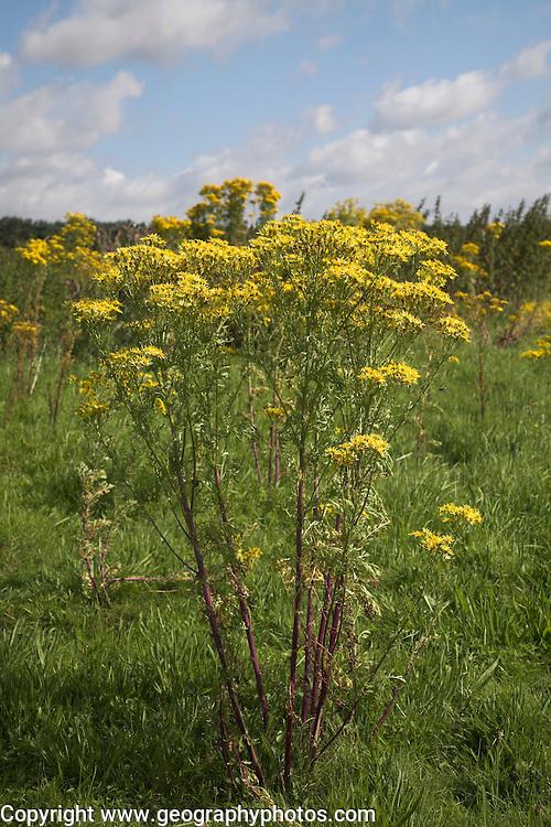 Yellow flowers of Common Ragwort, Senecio jacobaea, on heathland, Suffolk Sandlings, England