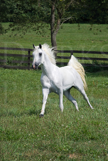 Picture of a white Arabian horse running at liberty in a summer pasture.