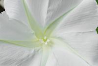 Huge white flower of annual vine Moonflower