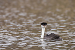 Lake Hodges, Escondido, San Diego, California; a Western Grebe (Aechmophorus occidentalis), with two newborn chicks tucked into the feathers on its back, swimming across the surface of the lake