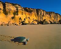 Green Sea Turtle Returning to the Sea, Sultanate of Oman    Ra's Jumayz Nature Preserve