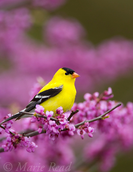 American Goldfinch (Carduelis tristis) male perched in flowering eastern redbud, New York, USA.