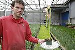 Foto: VidiPhoto<br />  <br /> VOORHOUT – Met z'n rijk bloeiende, maar kleine, bloemen is de gloednieuwe sonatini salmon rascal een exclusief en nieuw product waarmee narcissenkweker W. F. Leenen uit Voorhout een deel van de markt wil gaan bestormen. Net als de narcissen, moet de sonitini straks in de kas 'gebroeid' worden, vertelt Dirk Leenen, een van de eigenaren. Samen met broer Jaco runt hij het bedrijf dat naast narcissen (hoofdteelt) ook frittilaria als buitenteelt heeft. Sonatini is het kleine, lieflijke zusje van de amaryllis en een product dat de Voorhoutse kweker op lange termijn jaarrond wil gaan leveren. De bol wordt in de late herfst naar binnengehaald en gaat daarna de kas in om te broeien, zodat deze in eerste instantie tot begin juni geleverd kan worden. Met exclusieve types wil Leenen de amaryllishandel overtuigen dat er ook nog 'leven' is na Kerst. De sonatini kan als bescheiden voorjaarsplant in zes verschillende kleuren prima als snijbloem of potplant de Hollandse huiskamers, vindt Dirk.